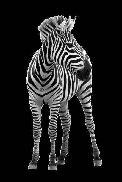 iStock_17913794_MEDIUM_zebra-removebg-preview